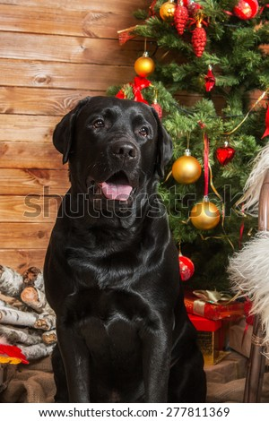 New Year mood. Black labrador retriever wishes Merry Christmas - stock photo
