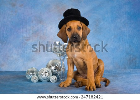 New Year Rhodesian Ridgeback puppy wearing top hat with large glass and mirror balls on blue mottled background  - stock photo