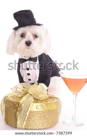 New years Maltese - stock photo