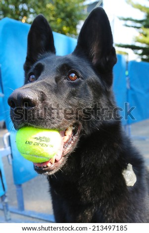 NEW YORK - AUGUST 26:  Belgian Shepherd K-9 Taylor providing security at National Tennis Center during US Open 2014 on August 26, 2014 in New York - stock photo