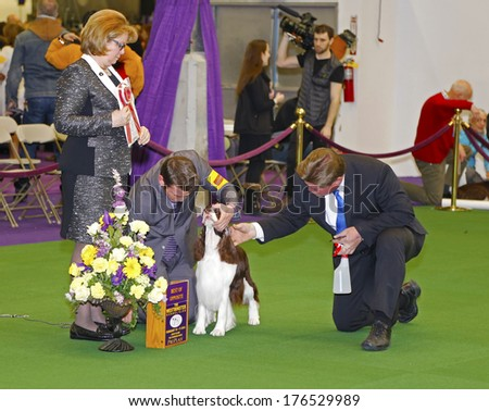 NEW YORK CITY - FEBRUARY 11 2014: The Westminster Kennel Club's 138th  competition at Madison Square Garden is the dog world's most prestigious contest. Champion Springer Spaniel prepped for pictures - stock photo