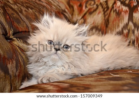 NEW YORK - JUNE 2013:  Adorable 8 week old Blue Lynx Persian kitten sits on a brightly printed couch on June 16, 2013 in Manhattan, New York. - stock photo