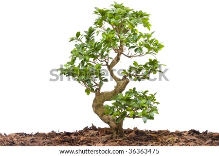 New young tree isolated against white - landscape exterior