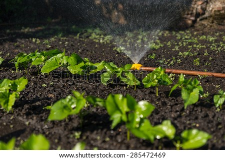 New young vegetable plants in a spring garden being watered by a sprinkler - stock photo