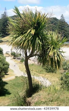 New Zealand Cabbage Tree - stock photo