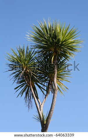 New Zealand cabbage tree against a beautiful blue sky - stock photo