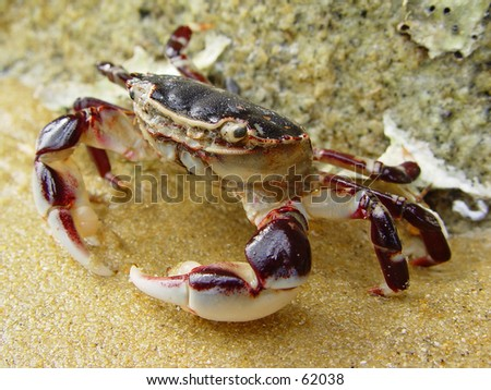 New Zealand crab - stock photo