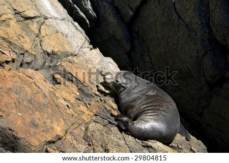 New zealand fur seal lying on rocks in Doubtful Sounds in New Zealand - stock photo