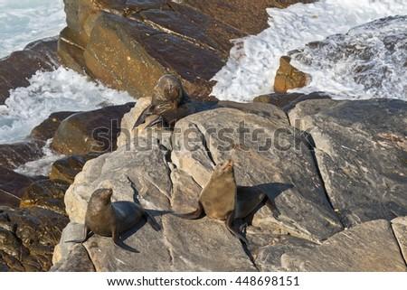 New Zealand fur seals sunbathing on Colony rocks near the ocean at Admirals Arch, coast of Kangaroo Island, South Australia - stock photo