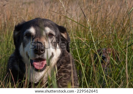 New Zealand Huntaway sheep dog lying down in a field of long grass with a collie dog in the background hidden by long grass  - stock photo