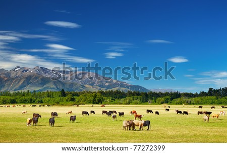 New Zealand landscape with farmland and grazing cows - stock photo