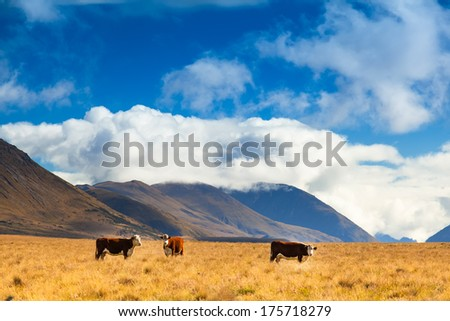 New Zealand landscape with farmland and grazing cows, calves - stock photo