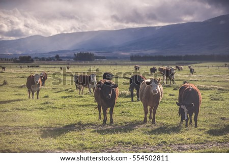 New Zealand landscape with grazing cows