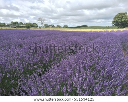 New Zealand Lavender Garden