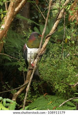 New Zealand native pigeon - stock photo