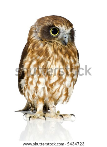 New Zealand owl in front of a white background
