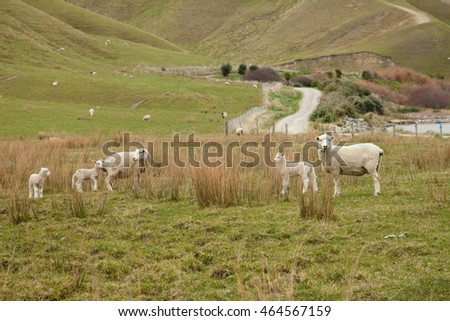 New Zealand pastoral farming land - Spring time with rolling green hills and new born lambs at foot of ewes