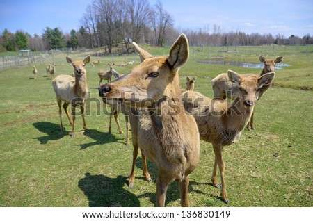 New Zealand red deer, Red deers are ruminants, characterized by an even number of toes, and a four-chambered stomach. - stock photo