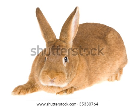 New Zealand Red domesticated rabbit, on white background