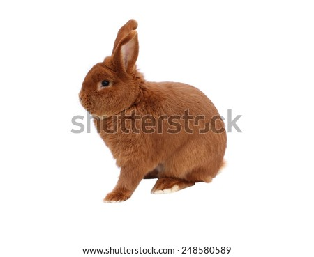 New Zealand red rabbit on white background