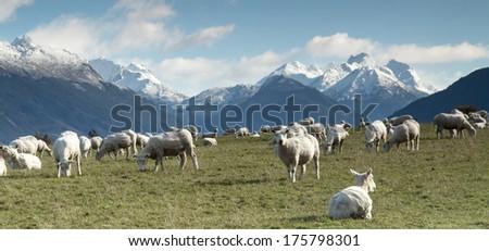 New Zealand Sheep - stock photo