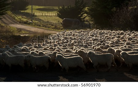 New Zealand sheep crossing a country road at dawn - stock photo