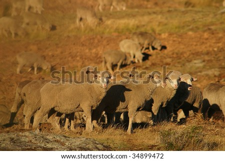 New Zealand sheep in sunset