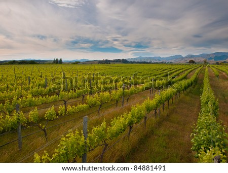 new zealand vineyard overview with hills backdrop - stock photo