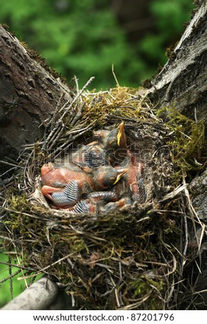 Newborn baby birds of a thrush in nest stretching for food
