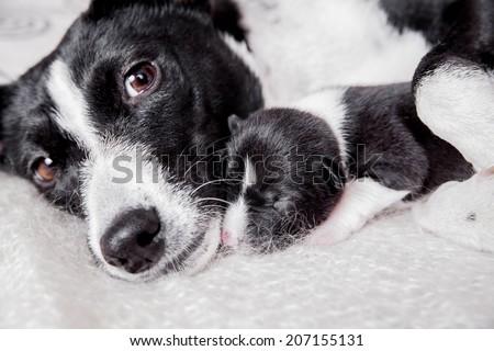 Newborn basenji puppy with mother - stock photo