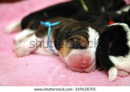 Newborn beagle puppies on pink blanket - stock photo