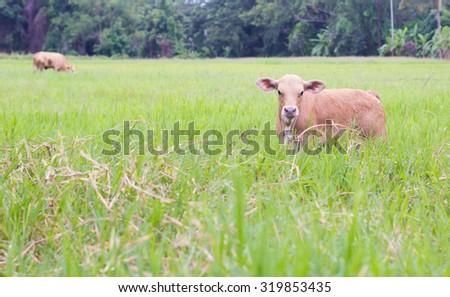 Newborn beef cattle at pasture - stock photo