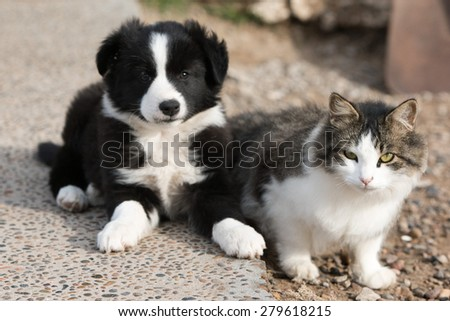 newborn border collie dog portrait with a cat  - stock photo