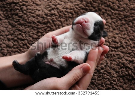 Newborn boston terrier puppy in human hands.Little newborn boston terrier dog gently held by human. Small subtle puppy in caring human arms. - stock photo