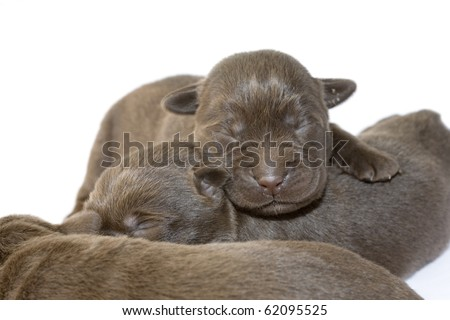 Newborn brown labrador puppies on white ground