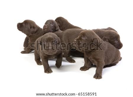 Newborn brown labrador puppies on white ground - stock photo