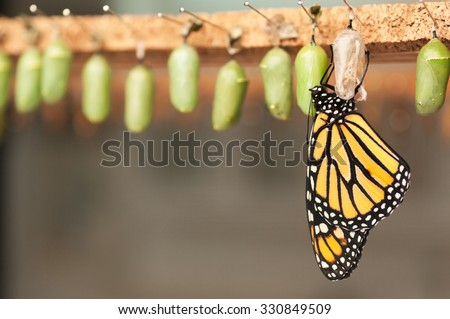 Newborn butterfly and the green cocoons