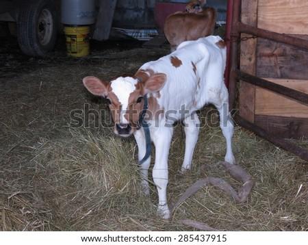 Newborn calf - stock photo