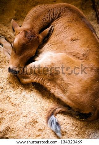 Newborn calf.  Brown Jersey baby. Top view, looking down. - stock photo