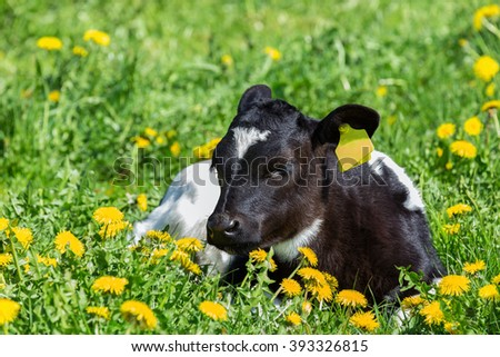 Newborn calf lying in green grass with yellow flowers dandelions - stock photo