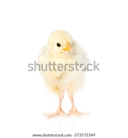 Newborn chicken. isolated on white background