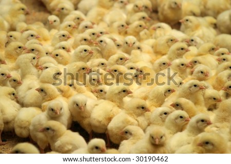 newborn chicks in the poultry farm - stock photo