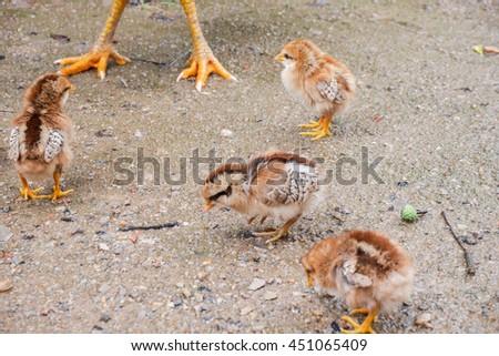 Newborn chicks pecking on poultry yard - stock photo
