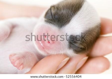 newborn chihuahua puppy at palms close-up on white background  - stock photo
