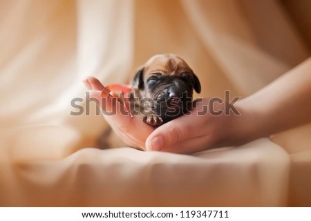 Newborn cute puppy in the hands of a girl - stock photo