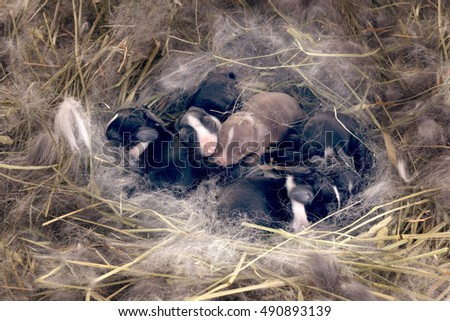 Newborn Dwarf Dutch rabbits   in the nest of dry grass and down. Babies three days after birth