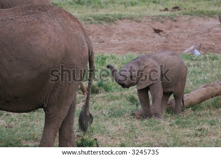 Newborn elephant calf lifting up its trunk