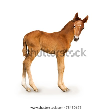 Newborn foal (only 4 days) - stock photo