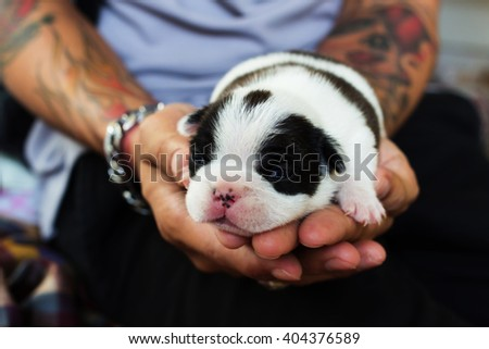 Newborn French Bulldog dog in the caring hands. - stock photo
