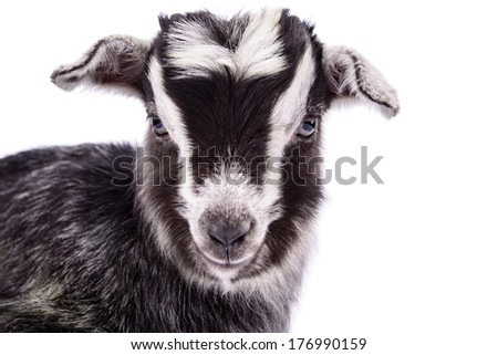 newborn goat close-up. farm animal. Isolated on white background